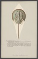Limulus - Print - Iconographia Zoologica - Special Collections University of Amsterdam - UBAINV0274 006 03 0065.tif