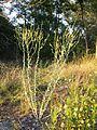 Linaria genistifolia sl10.jpg