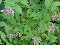 Linnaea amabilis 2015-05-29 050b.jpg