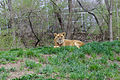 Lion at the Pittsburgh Zoo sitting.jpg