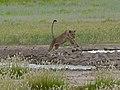 Lioness (Panthera leo) (7003155957).jpg