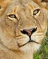 Lioness (Panthera leo) close-up (12025948514).jpg