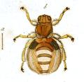 Lipoptena cervi (Linnaeus, 1758) labelled as Pediculus Cervi Fabr. (Panzer & Sturm 1793) whitened.png
