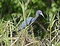 Little Blue Heron, adult.jpg
