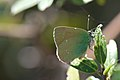 Little green butterfly (8461513340).jpg