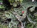 Lobaria macaronesica C. Cornejo & Scheid 407117.jpg