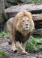 Loewe Panthera leo Tierpark Hellabrunn-24.jpg