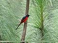 Long-tailed Minivet (Pericrocotus ethologus) (27859616759).jpg