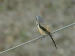 Dosiero:Long-tailed Shrike kindlebag.ogv