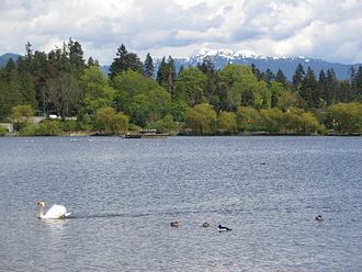 Lost Lagoon - A view of Lost Lagoon looking North, with a swan in the foreground.