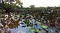 Lotus Pond Reflection.jpg
