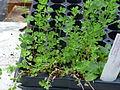 Lotus corniculatus young plant 1.JPG