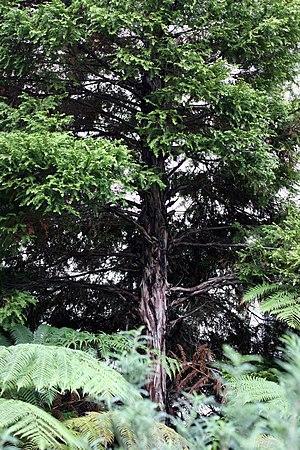 Libocedrus plumosa - Young 'Kawaka' tree.