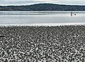 Lugworm casts on mudflats of Gullmarsviken, Gullmarn 1.jpg