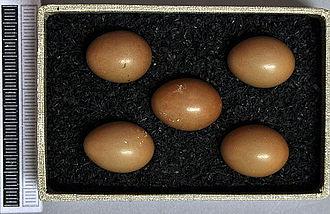 Thrush nightingale - Eggs, Collection Museum Wiesbaden, Germany