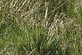 Luzula.campestris.2.jpg