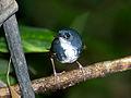 MACUQUINHO (Eleoscytalopus indigoticus)-2.jpg