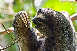 Sloth - Feeding brown-throated three-toed sloth (Bradypus variegatus), Cahuita National Park, Costa Rica