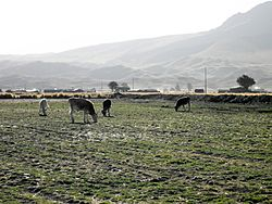 Cows on a meadow in Mañazo District