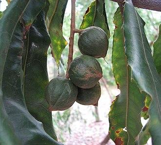 Macadamia tetraphylla - Foliage and fruits