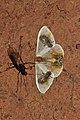 Macrocilix maia (Drepanidae- Drepaninae) (6564971201).jpg