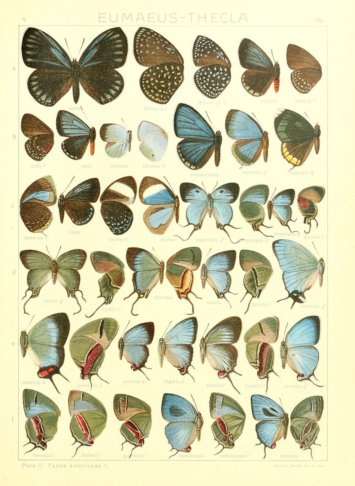 arcas butterfly wikipedia