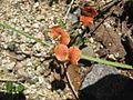 Macroptilium gibbosifolium (7554997390).jpg