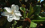 Magnolia 3944.jpg