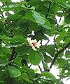 Magnolia hypoleuca 2.jpg