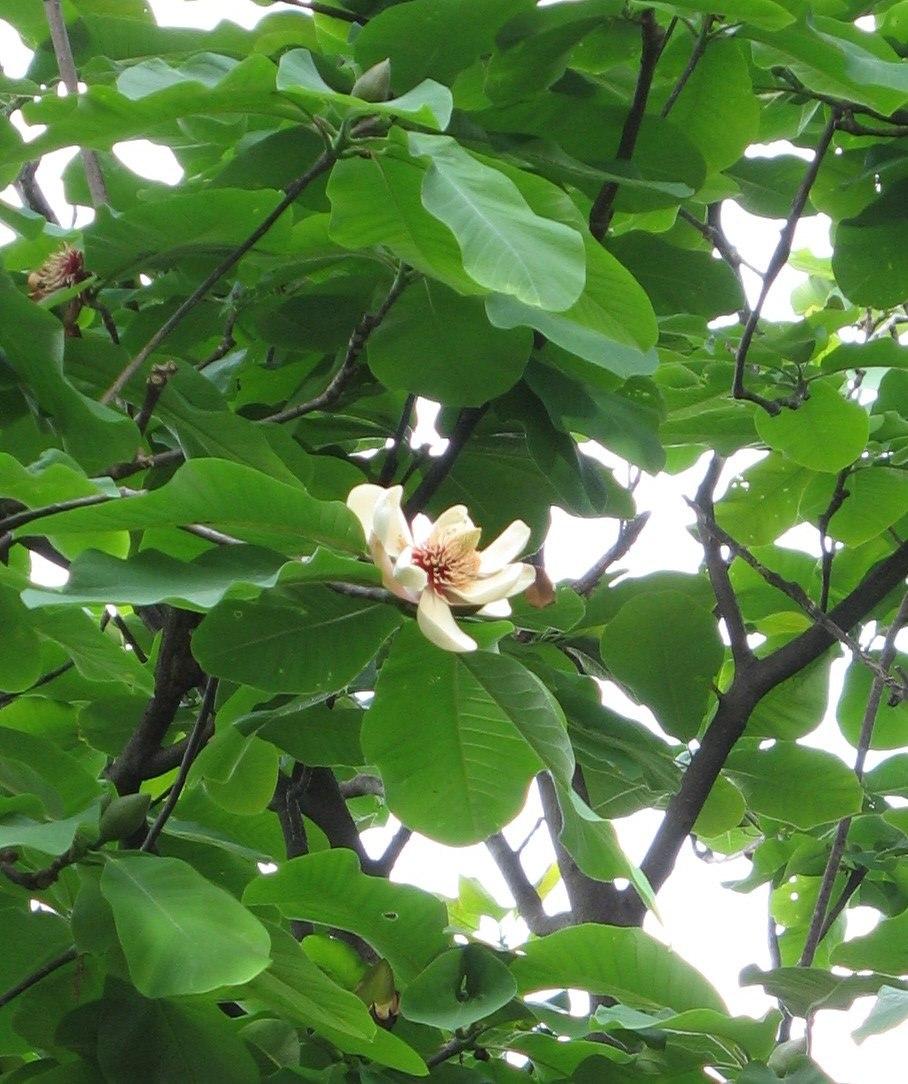 Magnolia hypoleuca 2