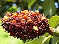 Magnolia hypoleuca 5.JPG
