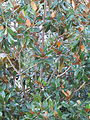 Magnolia leaves 10-12 579.jpg