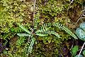 Maidenhair spleenwort Asplenium trichomanes (8965214960).jpg