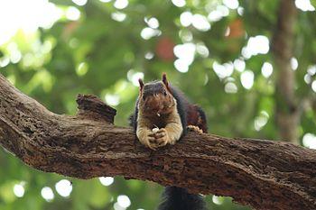 Malabar Giant squirrel.jpg