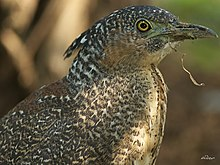 Malayan Night Heron 2591.jpg