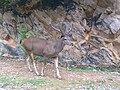 Male Sambar deer.jpg