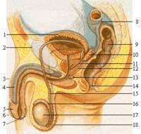 Organes génitaux de l'homme