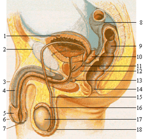celleforandringer graviditetsdiabetes