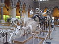 Mammal skeletons, Oxford University Museum of Natural History, Oxford, England - 20070128.jpg