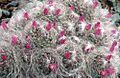 Mammillaria bocasana (26413016423).jpg