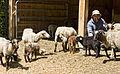 Man and Navajo-Churro flock.jpg