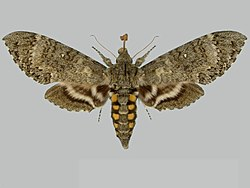 Manduca mossi BMNHE273563 female up.jpg