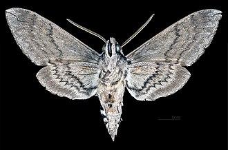 Manduca quinquemaculata - Male - ventral view