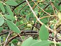Mangrove Apple (537073266).jpg