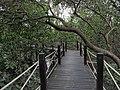Mangrove walkway.jpg