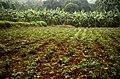 Manihot esculenta farm Kolli hills JEG3085.jpg