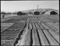 Manzanar Relocation Center, Manzanar, California. Evacuees of Japanese ancestry are growing flouris . . . - NARA - 537972.tif