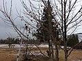 Maple and Snow - Winter in Quetta.jpg