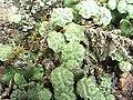 Marchantia polymorpha (3).jpg