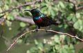 Marico sunbird, Cinnyris mariquensis at Mapungubwe National Park, Limpopo, South Africa (30058628865).jpg